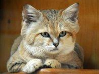 Екзотичні породи котиків. ТОП незвичних котів