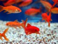 Як доглядати за акваріумними рибками?