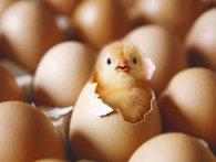 На курчатах і каченятах можна заробити на квартиру